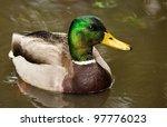 Mallard Ducks  Anas...