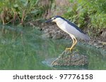 Black-Crowned Night-Heron looking for food / Nycticorrax nycticorax