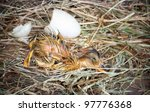 Wet little yellow duckling newly hatched from its egg - stock photo