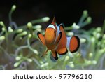 Clownfish and yellow sea anemone