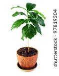 young potted coffee arabica plant isolated on white - stock photo