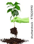 planting young coffee tree isolated on white - stock photo