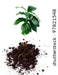 whole coffee arabica plant with leaves, stem and roots isolated on white - stock photo