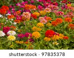 Zinnia Flowers With Shallow...