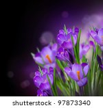 Crocus Spring Flowers Design...