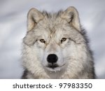 Alpha Male Arctic Wolf Watchin...