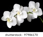 White Orchid On A Black...
