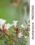 Small photo of Abelia flower