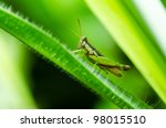 grasshopper in green nature or... | Shutterstock . vector #98015510
