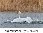 white swan in flight in the... | Shutterstock . vector #98076284