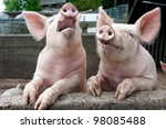Stock photo laughing pigs on side of pigsty 98085488
