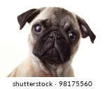 Stock photo pug puppy 98175560
