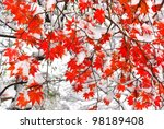 Red Fall Maple Tree Covered In...