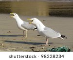 Two seagull birds squawking with beaks wide open, St. Ives Cornwall UK. - stock photo