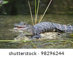Young American Alligator With...