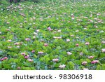 Field Of Blooming Lotus Flower.