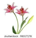 A Bridal Lily Flowers