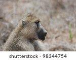 Baboon  Papio Cynocephalus ...