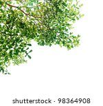 tree isolated green leave on