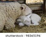 Baby Lamb With Mother  Single...