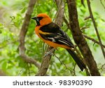Small photo of Photograph of a brilliant and beautifully colored black and orange Altamira oriole perched on a branch in a lush south Texas woodland.