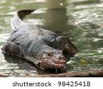Wild varanus on the water ,Focus on the varanus eye. - stock photo