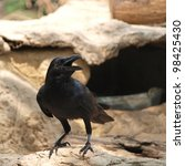 raven sitting on a stone - stock photo