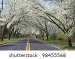 """""""Spring Road"""" White Spring blossoms overhang this country road in Holmdel, New Jersey. - stock photo"""