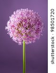 Purple Alium Onion Flower ...