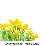Yellow Crocuses In The Grass O...