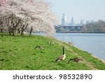 Cherry Blossoms and Canada Geese in Philadelphia along Schuylkill River