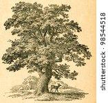 Oak Tree    Old Illustration B...