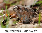 garlic frog  pelobates fuscus   ...   Shutterstock . vector #98576759