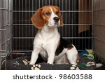 Sad Beagle Dog Sits In Cage