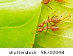 red ant teamwork on green leaf - stock photo