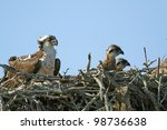 Young Ospreys  Pandion...