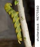 Small photo of Death's-head Hawk moth. Acherontia atropos. Caterpillar