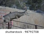 Mule Deer Doe Jumping Fence