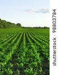 Green corn field  and blue sky - stock photo