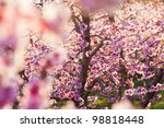 peach trees bloom in spring - stock photo