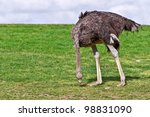 Ostrich Eating Grass