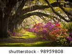 Charleston SC Plantation Live Oak Trees Spanish Moss Azalea Flowers Blooming Spring Blooms - stock photo