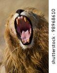 Lion male yawning showing large canines, Serengeti National Park, Tanzania, East Africa - stock photo