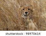 Cheetah hiding in grass, Serengeti National Park, Tanzania, East Africa - stock photo