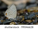 Small photo of Lycaenidae (Jamides alecto)