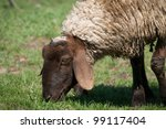 Sheep eat - stock photo