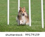 happy sheltie going through an... | Shutterstock . vector #99179159
