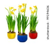 narcissus and daffodil in the...   Shutterstock . vector #99194636
