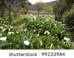 calla lily meadow in a mountain valley - stock photo