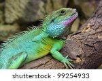 Chinese Water Dragon   Side...